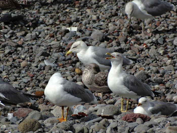 Group of seagulls. Group Of Animals Bird Animal Wildlife Animals In The Wild Animal Themes Animal Vertebrate Solid Rock Seagull Land No People Large Group Of Animals Day Nature Rock - Object Beach Perching Stone - Object Outdoors Pebble Flock Of Birds Seagulls Gull Gulls