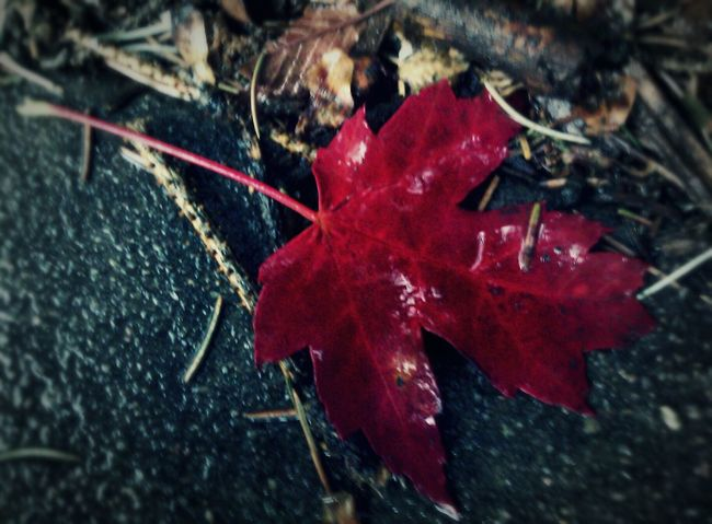 """The color of dying, No. 2"" (2016) Fall Beauty fall leaves fall colors Colorado autumn seasons natural Things Dying Nature Porn Nature Photography Red Red Leaves Red Nature"