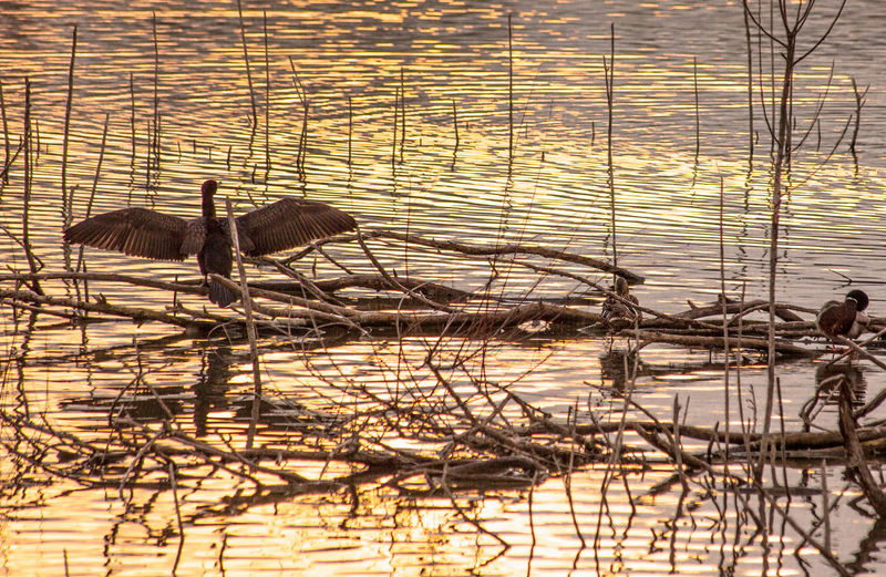 Bird Opening Wings Bird Photography Last Of The Sun Nature Photography Reeds At The Lake Ripples In The Water Sunset Silhouettes Sunset_collection
