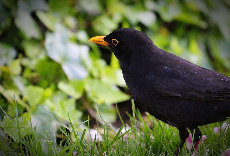 Bird Raven -