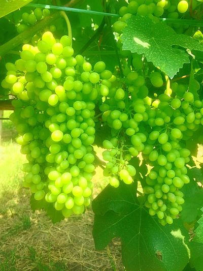 Roero Wine Piedmont Italy Green Color Plant Healthy Eating Growth Fruit Leaf Nature