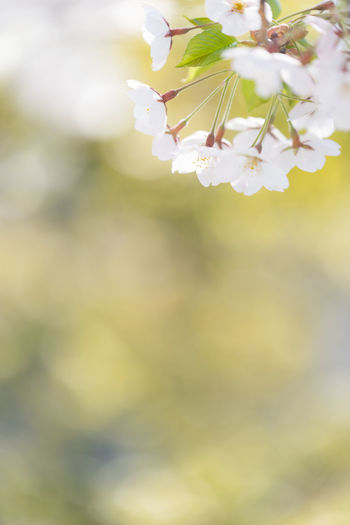 Flower Plant Flowering Plant Beauty In Nature Growth Fragility Vulnerability  Nature Close-up Freshness Selective Focus Day No People Outdoors White Color Springtime Focus On Foreground Flower Head Petal Inflorescence Cherry Blossom