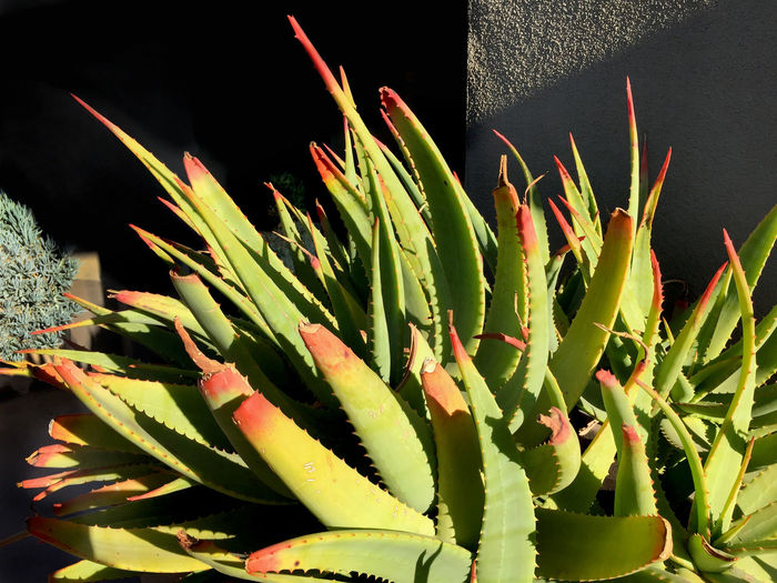 Succulent plant Beauty In Nature Close-up Green Green Color Growth Leaf Nature Outdoors Plant Succulent Plant