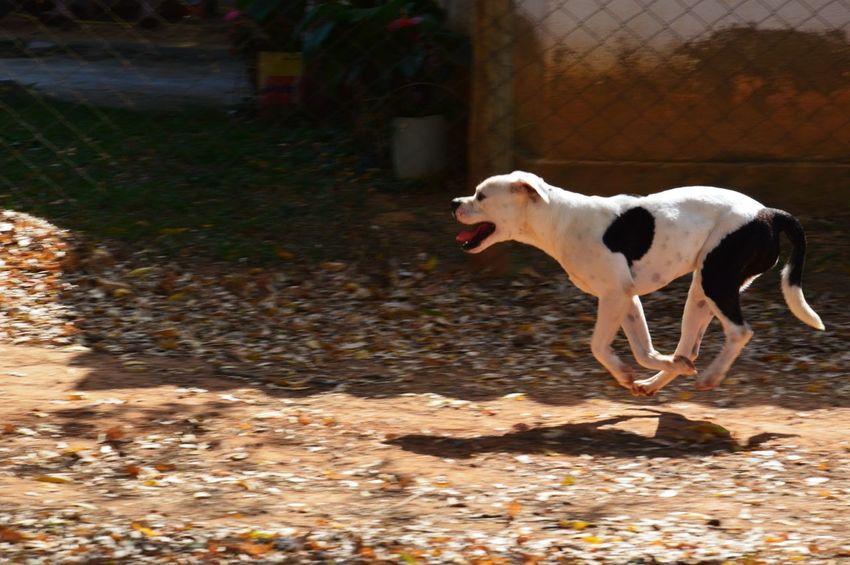 Street Dog in Brazil || Streetphotography Brasil ♥ Dog Hund Outdoor Outside Photography Animal Blury Background Speed Running Free Perfect Day Afternoon Black And Withe And Color Focus Focus Object No Persons Sommertime Sommer First Eyeem Photo First Eyeem Photo shoot with Nikon D3200