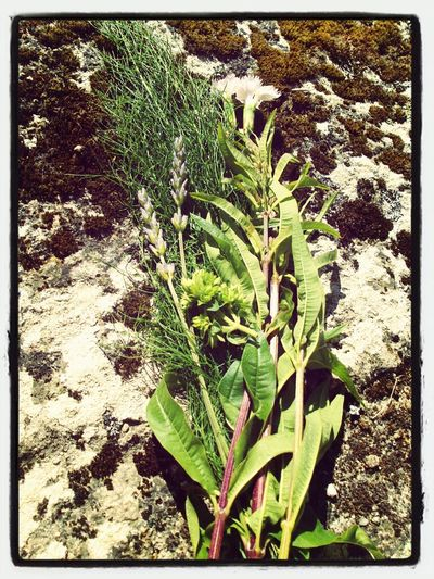 ...herbas De San Xoan