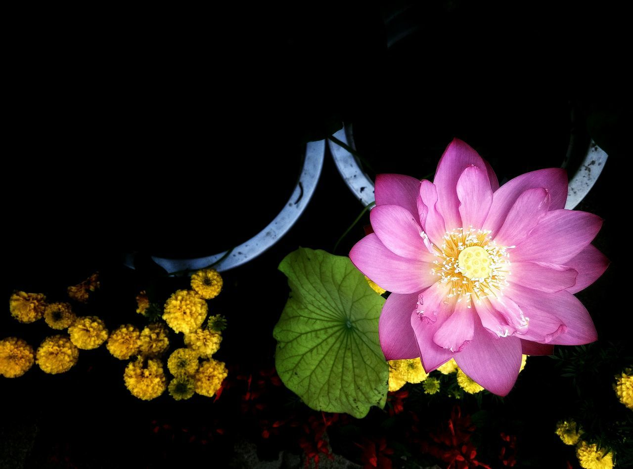 flower, petal, flower head, fragility, freshness, beauty in nature, nature, no people, black background, growth, close-up, leaf, yellow, plant, blooming, outdoors, night