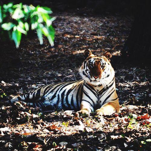 Tiger Animals