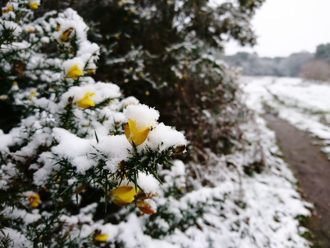 Snow On Gorse Thurstaston Hill Snow Gorse Bush Gorse Flowers Winter Cold Temperature Nature White Color Flower Weather Snowing Tree