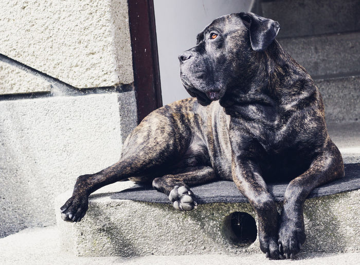 Amazing Cane Corso Guarding Guarding The Entrance Look In His Eyes Mastiff On Gua Observing The World People