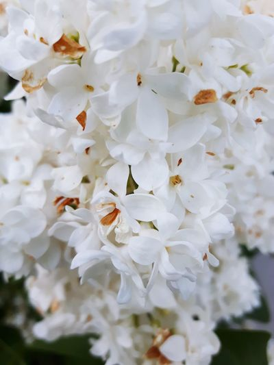 Flowers Nature White Color Lilac White Lilac Close Up Showcase July In My Garden Growing Leaves Greenery Lovely Outdoors