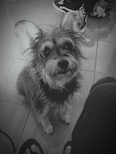 Pets Corner stunning Ziggy Schnauzer Lil Doggy