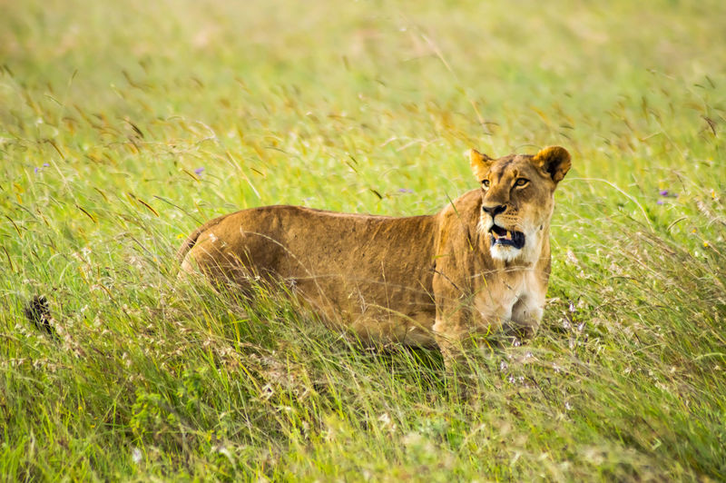 Mammal Animal Animal Themes Lion - Feline No People Carnivora Outdoors Lioness Nature Feline Animals In The Wild Animal Wildlife Nairobi National Park Safari Animals Kenya African