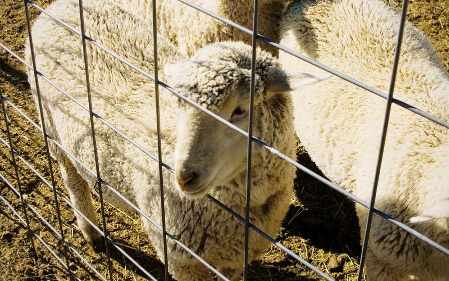 Sheep One Animal Domestic Animals Animal Themes Livestock Sheep Farm Animals No People Sheep Farm Rural Scene Agriculture Livestock Wool Baa Fence