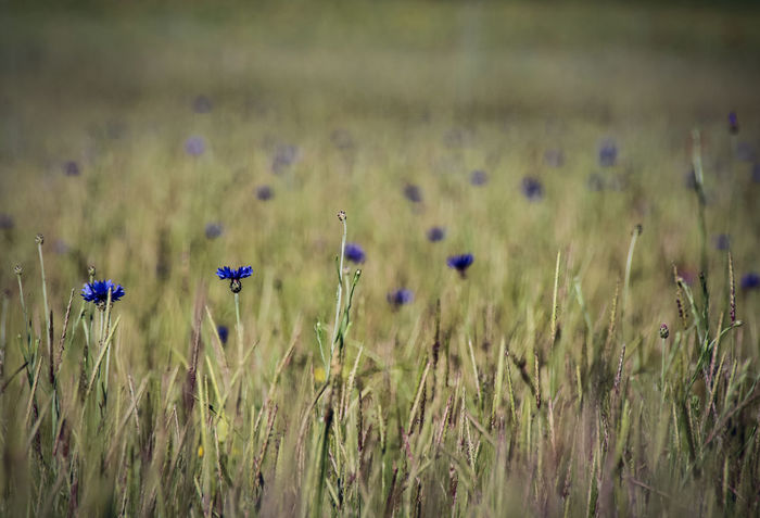 Agriculture Beauty In Nature Close-up Cornflower Day Field Flower Flower Head Fragility Freshness Grass Growth Nature No People Outdoors Plant Rural Scene Tranquility
