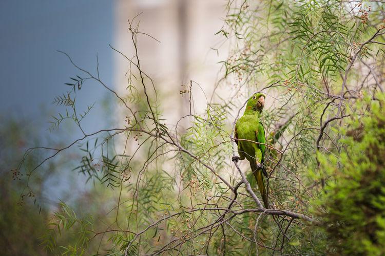 Psittacara leucophthalmus Animal Themes Beauty In Nature Bird Birds Nature No People Parakeets Tropical Birds White-eyed Parakeet
