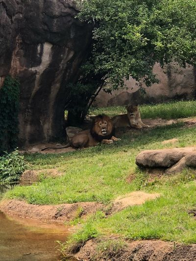 Memphis Zoo ZooLife Memphis Zoo Memphis, TN Iphone8plus IPhoneography Lion Animal Animal Themes Mammal Vertebrate Feline Cat Animals In The Wild Animal Wildlife No People Relaxation Sunlight Nature Tree Day Growth