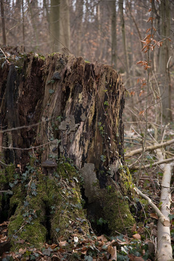 Old tree stump Beauty In Nature Close-up Day Forest Growth Landscape Nature No People Old Tree Stump Outdoors Outdoors Photograpghy  Scenics Tranquility Tree Tree Area Tree Trunk Wilderness WoodLand