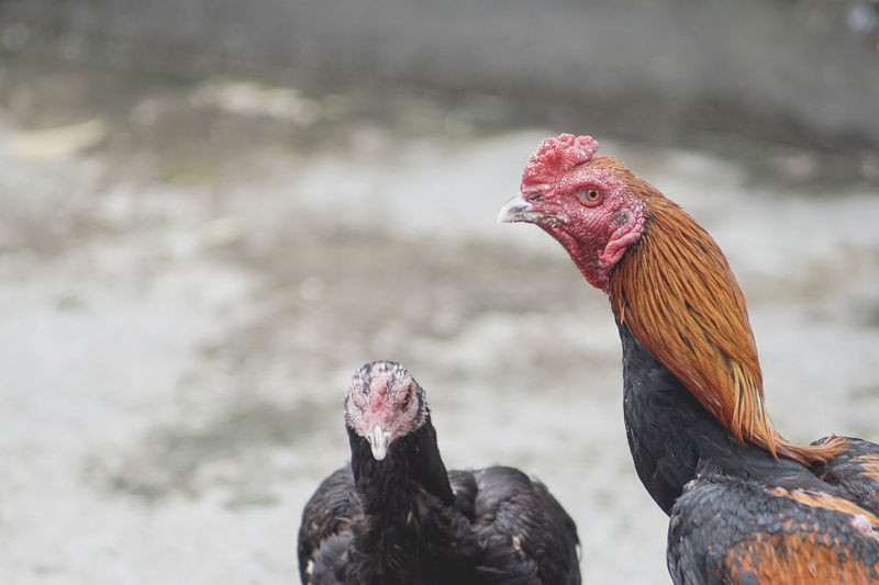 AYAM JAGO Ayam Bali Animal Crest Animal Themes Beak Bird Chicken - Bird Close-up Cockerel Day Domestic Animals Focus On Foreground Livestock Nature No People One Animal Outdoors Rooster Sabung Ayam Tradisional