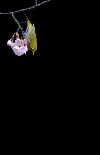 Welcome To Black Black Background Nature Flower Head EyeEmNewHere Japan Bird Cherry Blossom Eye Em Nature Lover Animals In The Wild Outdoors