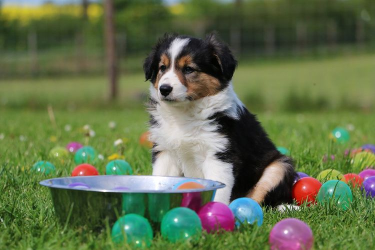 border collie puppy is sitting in colored balld in the garden Baby Border Collie EyeEm Pets Sitting Tricolor Animal Themes Ball Balls Bordercollie  Colorful Dog Domestic Animals Grass Mammal Multi Colored No People One Animal Outdoors Park Pets Puppy Spring