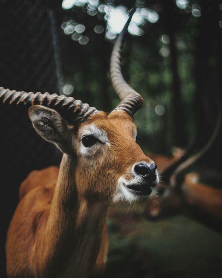 Taman Safari Prigen - Deer Deer Portrait Forest Close-up Animal Body Part Deer Safari Animals Zoo HEAD