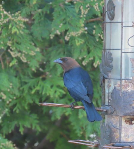 Brown headed cowbird at the feeder Birds of EyeEm green leafy trees animal themes outdoors birdwatching beauty in nature One Animal Perching No People
