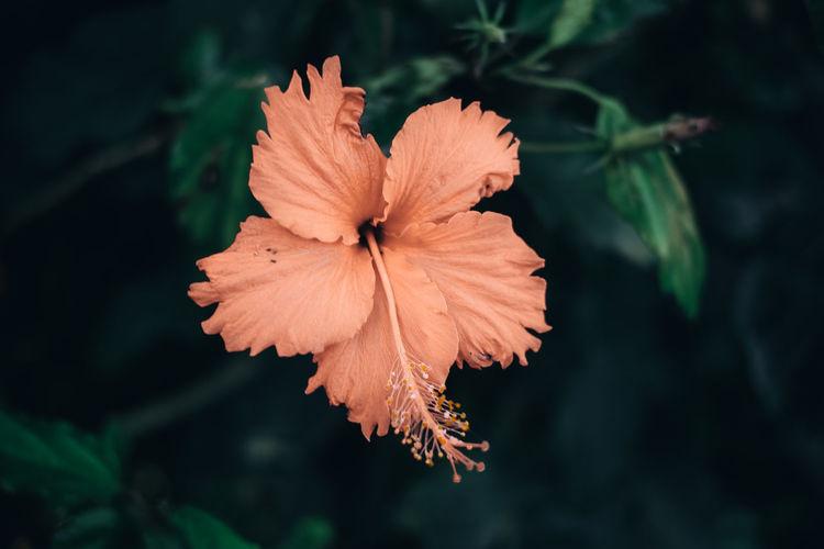 Close-up of orange hibiscus flower