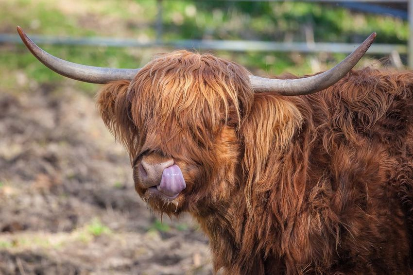 Animal Hair Animal Themes Brown Close-up Day Domestic Animals Focus On Foreground Highland Cattle Horned Livestock Mammal No People One Animal Outdoors