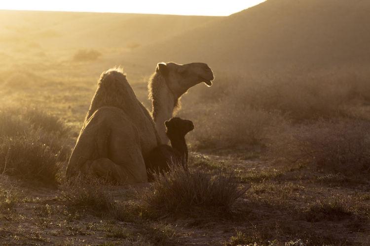 Camel mom with baby camel Photographyislifee Desert Life Desert Beauty Saudi Arabia Life Taking Photos Color Photography Camel Camel Riding Camel Cigarretes Camel Ride Camel Fair Camel Racing Camels Camel Baby Camel Mother