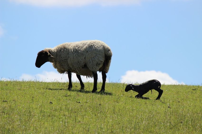 Newborn Sheep Schafe Deich