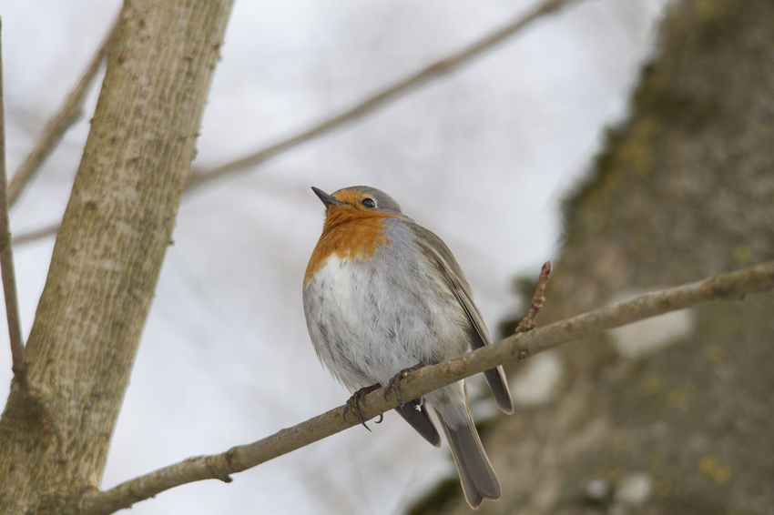 male robin in courtship plumage sits in the snow Animal Themes Animal Wildlife Animals In The Wild Bird Branch Close-up Day Focus On Foreground Nature No People One Animal Outdoors Perching Robin Tree