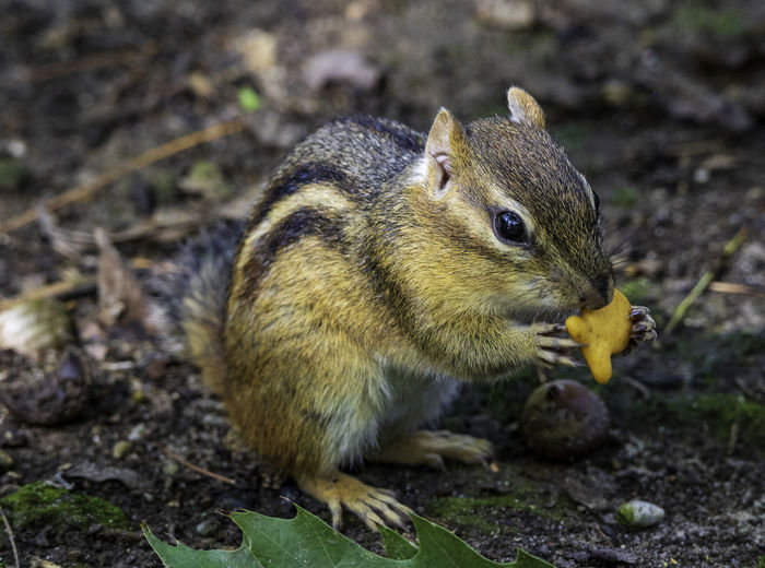 Chipmunk having a snack. Tamias Animal Animal Themes Animal Wildlife Animals In The Wild Chipmunk Close-up Cute Eastern Chipmink Eating Feeding  Food Food And Drink Furry Mammal Nature One Animal Rodent Sciurina Tamia Vertebrate Whisker