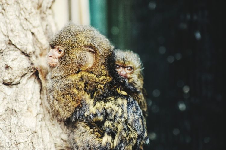 Close-up of a monkey with child