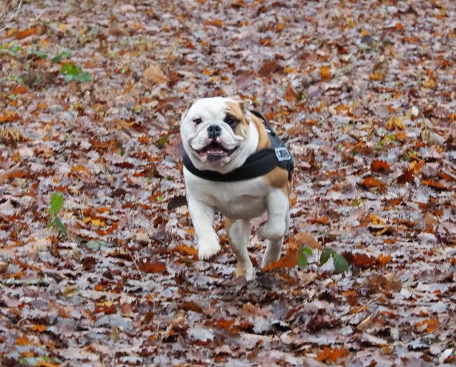 Bulldog's run