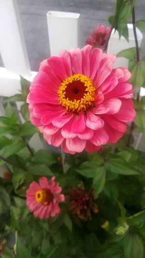 Regular Flower Petal Flower Head Pink Color Fragility Beauty In Nature Nature Plant Freshness No People Peony  Outdoors Day Red Close-up Summer Growth Zinnia  Nature_collection Flowers_collection Blooming Stand Alone Beauty