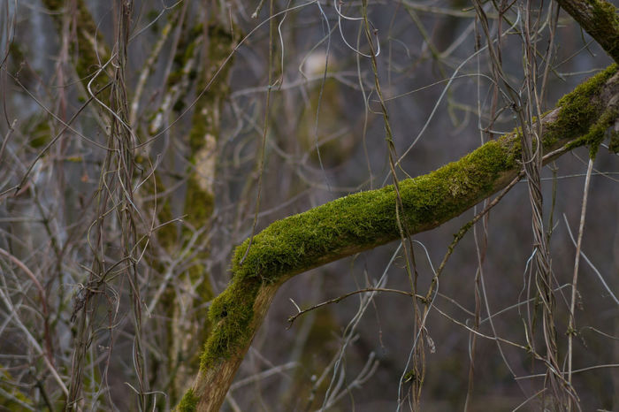 Beautiful Nature Branches Enjoying Nature EyeEm Nature Lover Forest From My Point Of View Ast In The Forest Into The Woods Moos Moss Mossy Mossy Tree Mossyforest Nature No People Plants Silence Things That Are Green Softness