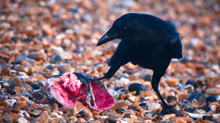 JP Brighton Crown Animal Themes Animal Wildlife Animals In The Wild Beach Beauty In Nature Bird Black Close-up Day England Fish Focus On Foreground Nature No People Outdoors Pebble Wild Wildlife
