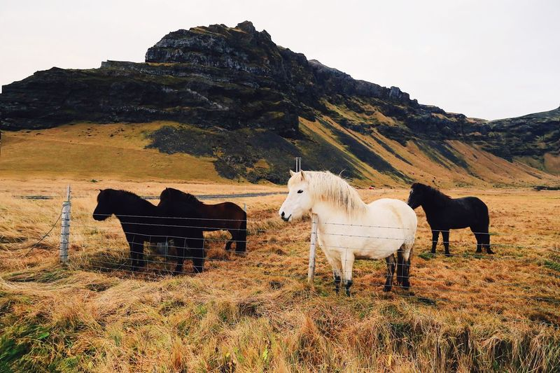 Horse Animal Themes Domestic Animals Livestock Mountain Mammal Day Cow Outdoors No People Nature Landscape Sky Lifestyles Wild Grass Nature Beauty In Nature Travel Destinations Iceland Power In Nature Travel