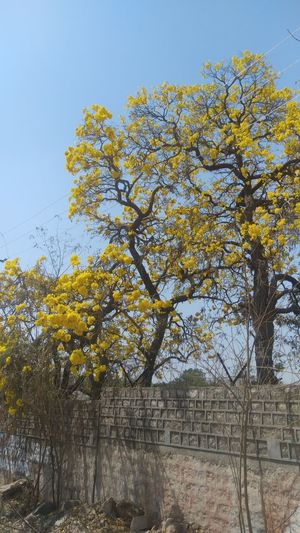 Tree No People Growth Sky Nature Yellow Outdoors Day Beauty In Nature