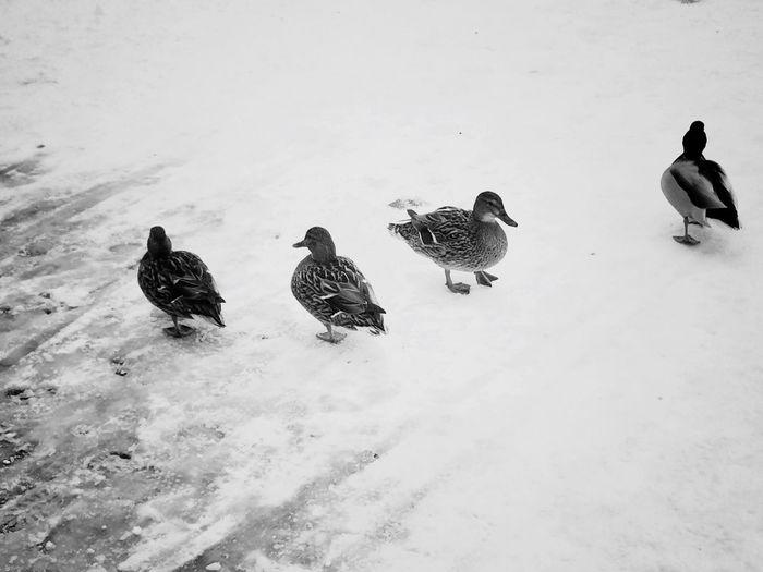Minsk. Minsk Minskcity  Minskgram Belarus Duck Ducks Snow March City Animals Animal Animals In The Wild Animal Themes Animal_collection Atmospheric Mood Atmosphere Atmospheric Life Depression