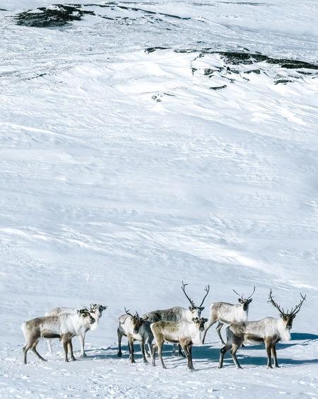 Flock of reindeer  in snow