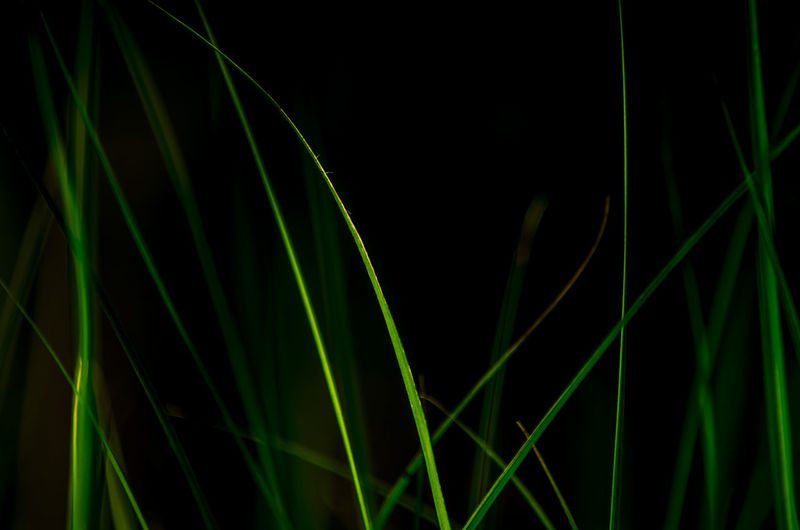 Close-up of green grass against black background