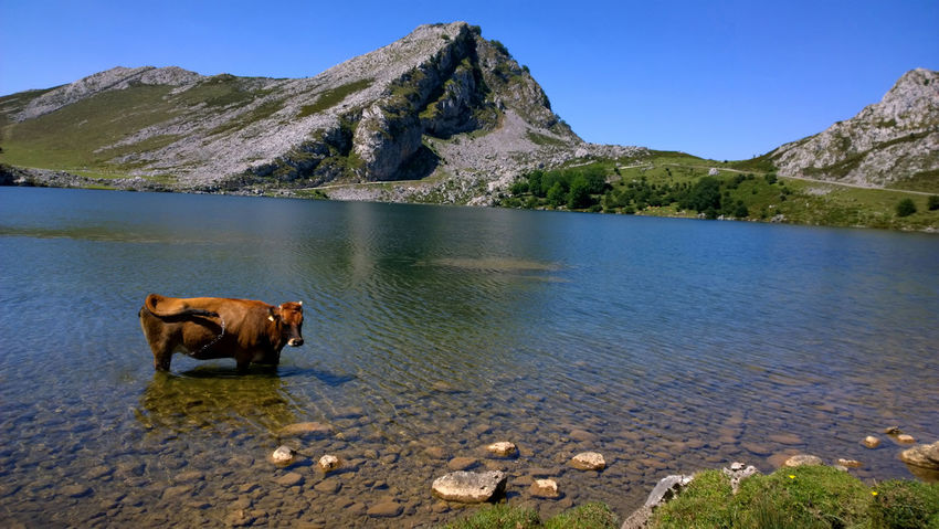 View of a cow at Lake Enol in Lakes of Covadonga, Asturias - Spain Animal Themes Asturias Covadonga Cow Domestic Animals Enol Lake Lago Enol Lagos De Covadonga Lake Landscape Mammal Mountain Nature Outdoors Peak Pets Picos De Europa Picturesque Reflection Scenics Sightseeing Tourism Travel Travel Destinations Water