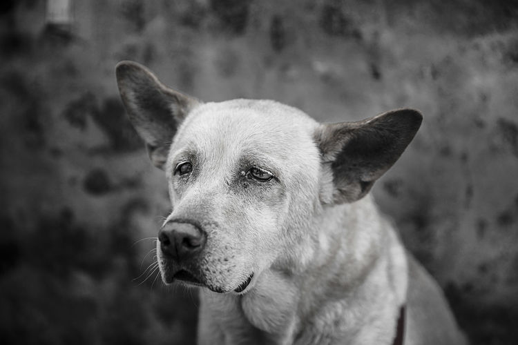 an old friend portrait Animal Themes Blackandwhite Close-up Day Dog Domestic Animals Focus On Foreground Mammal Nature No People Old Dog One Animal Outdoors Pets Portrait The Portraitist - 2017 EyeEm Awards