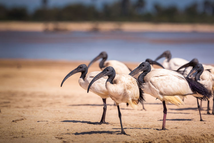 African Ibis Animals In The Wild Nature Nature Photography Africa Animal Animal Themes Animal Wildlife Animals In The Wild Beauty In Nature Bird Day Flock Of Birds Focus On Foreground Group Of Animals Ibis Lake Land Large Group Of Animals Nature Nature_collection No People Outdoors River Sunlight Water
