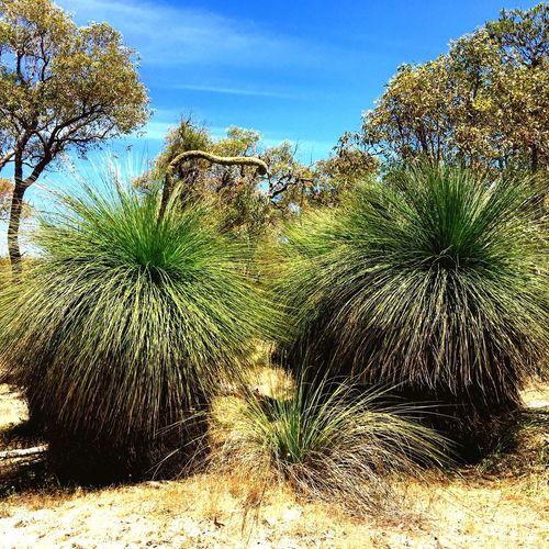 Yakka Grasstree Yakka Grasstrees Native Australian Flora Yakka Trees Nature Details Tree_collection  Nature Photography Bushwalking Australian Bushland Bushland Native Bush Nature Peaceful Nature
