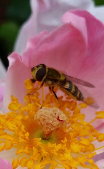 Hoverfly Insect