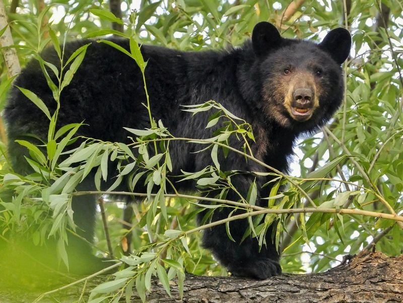 How's my smile? One Animal Animal Themes Mammal Plant Green Color Animal Head  Animal Outdoors No People Bear Black Bear Smiling Animal Bear Cub Panasonic GX8