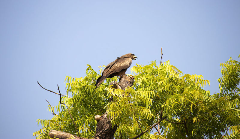 Indian vulture at Agra Fort, India Animal Wildlife Animals In The Wild Bird Sky Animal Themes Low Angle View Perching Tree One Animal No People Green Color Falcon - Bird Vulture India Agra Fort, Agra India