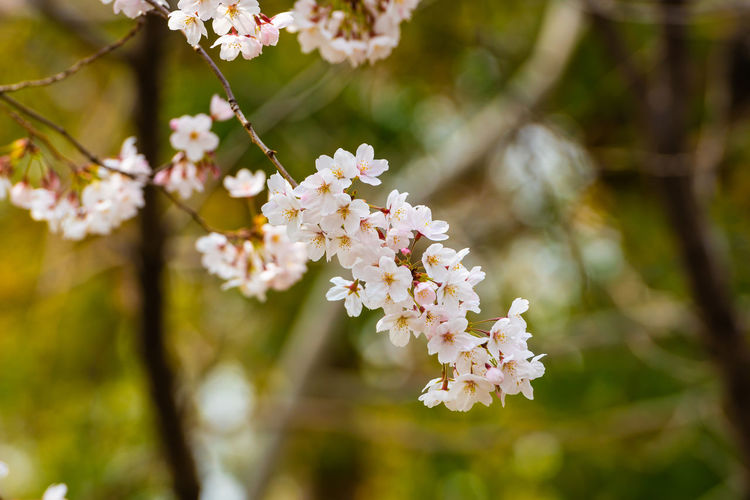 Flower Plant Flowering Plant Freshness Fragility Vulnerability  Growth Beauty In Nature Tree Blossom Branch Close-up Nature Day Focus On Foreground Springtime White Color Petal No People Twig Flower Head Cherry Blossom Outdoors Cherry Tree Pollen